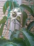 パッションフルーツの花.jpg