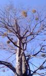 宿り木.jpg